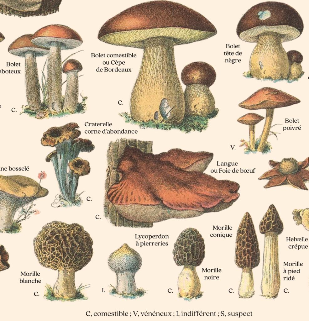 """Gros plan sur la planche """"Champignons"""" : les plus beaux spécimens illustrés, avec leur nom, sont issus du """"Larousse pour tous"""" de 1907."""